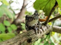 Hang In There-commom grey tree frog by Beverly Sipe